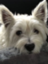 Hamish the westie dog who inspired the Ollie character in Anu Misa Ella Says series