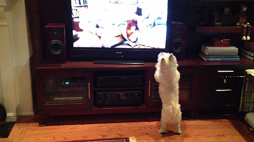 Hamish the westie watching TV the dog that inspired Ollie in the Ella Says childrens story book series by Any Misa