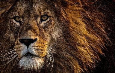 brown lion lying on green grass_edited.jpg
