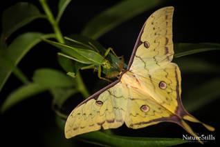 Chinese Moon Moth (Actias sinensis)