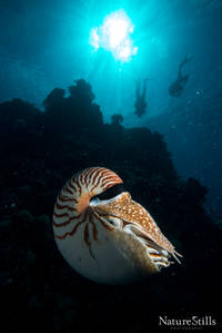 Palau Nautilus