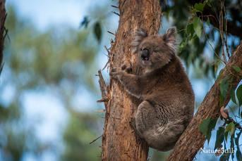 VIctorian Koala (Phascolarctos cinereus victor)