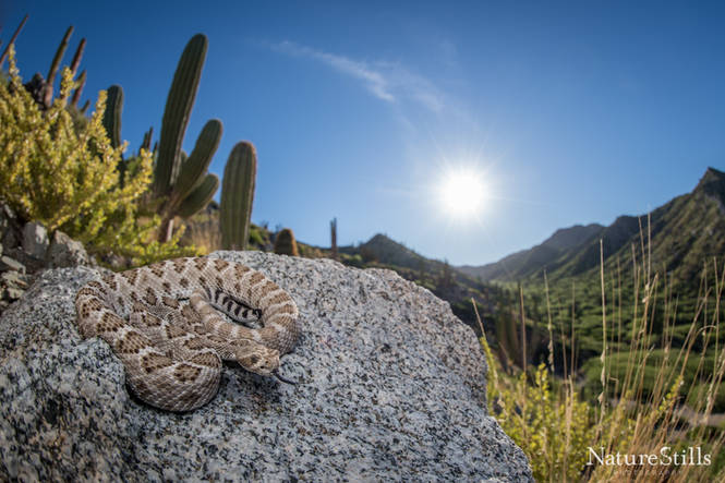 Santa Catalina Rattlesnake (Crotalus catalinensis).jpg