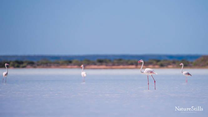 Madagascar Flamingos