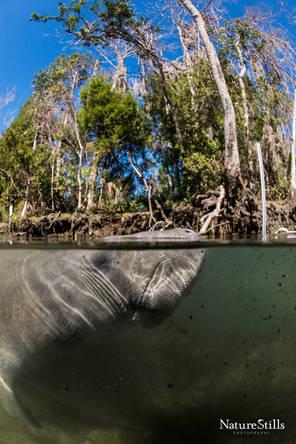 Florida Manatee (Trichechus manatus latirostris)