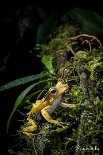 Bony-headed Flying Frog (Polypedates otilophus
