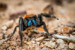 Apache Jumping Spider (Phidippus apacheanus).jpg