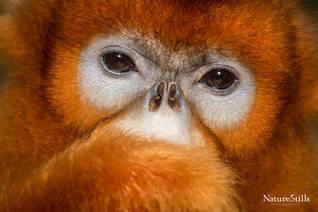 Golden Snub-nosed Monkey (Rhinopithecus roxellana)