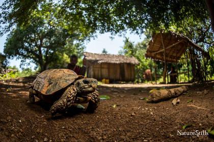 Hinge back Tortoise (Kinixys zombensis domerguei)