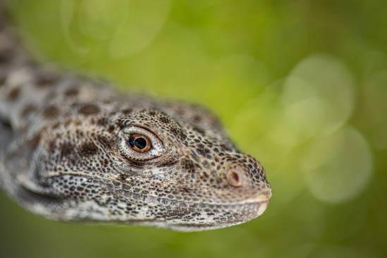Long-nosed leopard lizard (Gambelia wisl