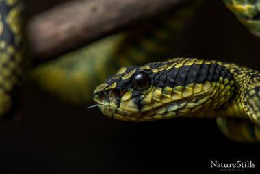 Sri Lankan Pit Viper(Trimeresurus trigonocephalus)