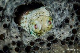 Caribbean Octopus