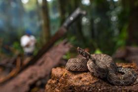Ecuadorian Toadheaded Pitviper (Bothroco