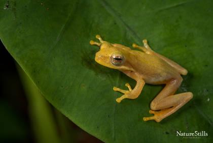 Striped Asian Treefrog (Feihyla vittatus)