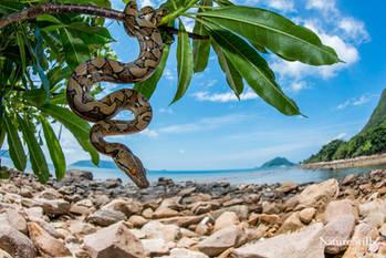 Reticulated Python (Malayopython reticulatus)