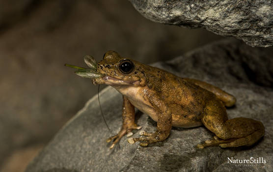 South China torrent frog (Amolops ricketti)