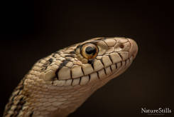 Sonoran Gopher Snake.jpg