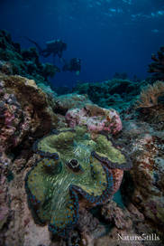 Giant Clam with Divers