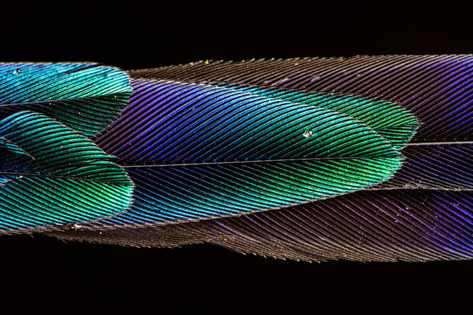 Violet tailed Slyph.jpg