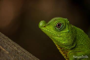 Sri Lankan Hump-nosed Lizard (Lyriocephalus scutatus)