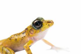 Alfred's Rainfrog (Craugastor alfredi)