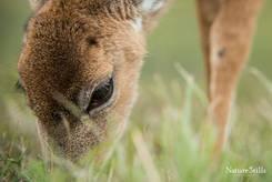 Key Deer (Odocoileus virginianus clavium)