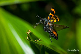Orange Blister Beetle (Mylabris pustulata)