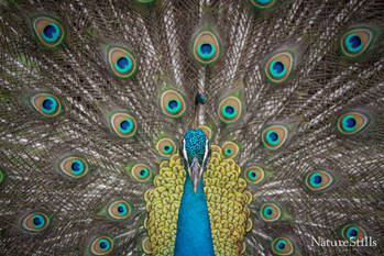 Peacock Display.jpg