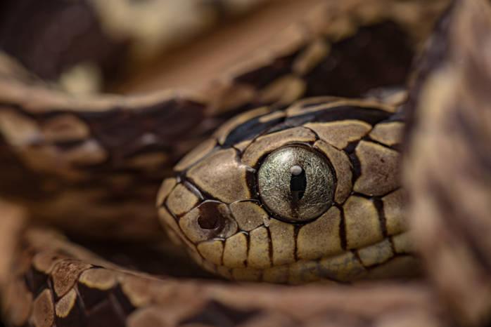 Andean Snail-Eater (Dipsas andiana).jpg