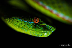 Gumprechts Green Tree Viper (Trimeresurus gumprechti)