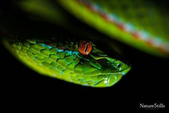 Gumprechts Green Tree Viper (Trimeresurus gumprechti)