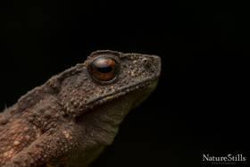 Tandayapa Andean Toad (Rhaebo olallai)