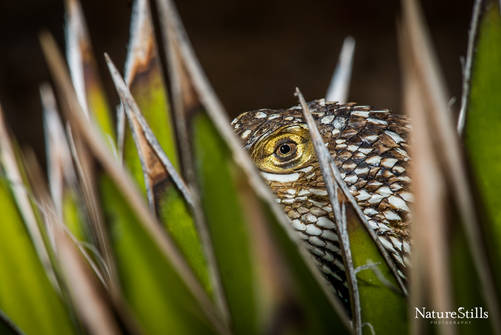 Red-backed Spiny Lizard (Sceloporus zosteromus rufidorsum)