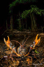 Conondale Spiny Crayfish (Euastacus histricosus)