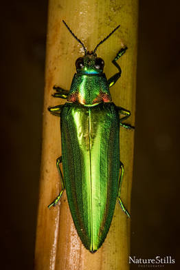Metallic Wood-boring Beetle (Chrysochroa rajah)