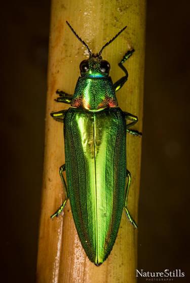 Metallic Wood-boring Beetle (Chrysochroa rajah)