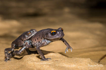 Smith's Leaf-litter Frogs (Leptobatrachium smithi)