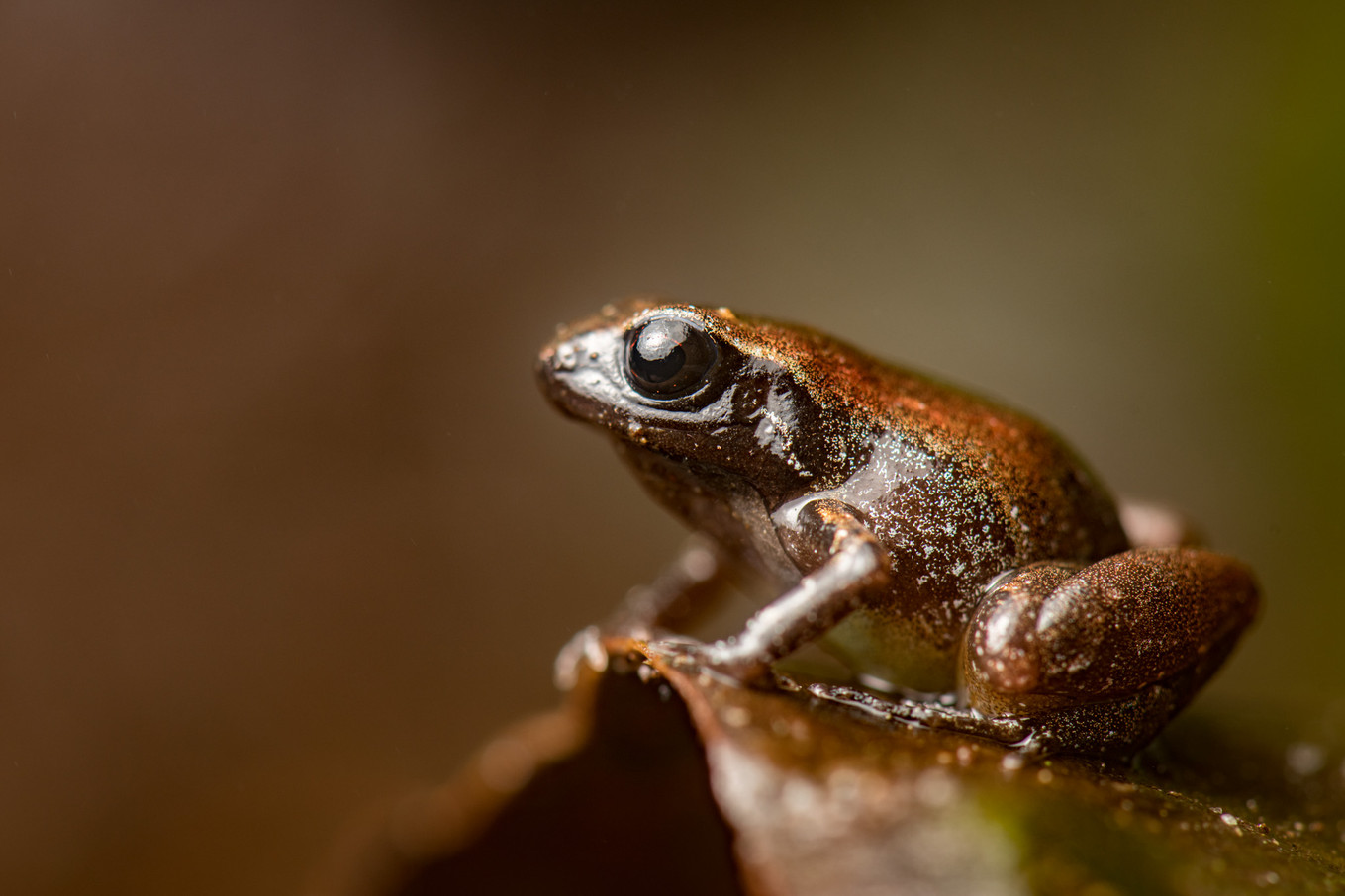 Another new species of frog