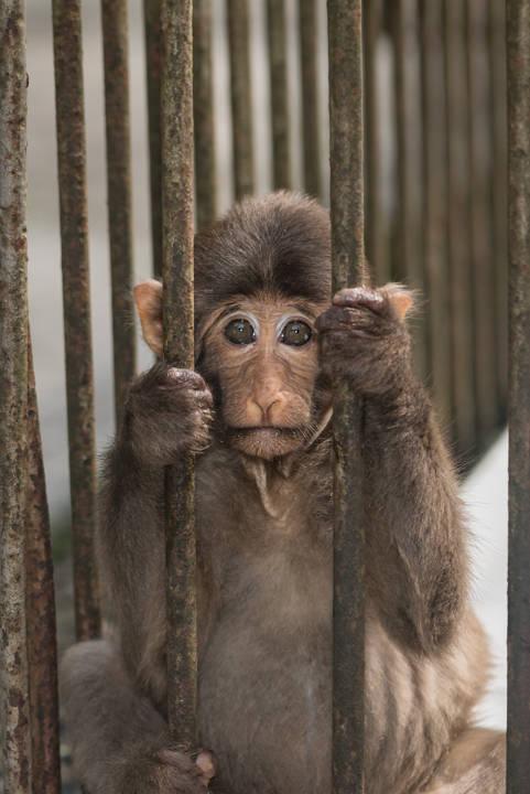 Tibetan macaque Prisoner.jpg