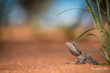 Eastern bearded Dragon (Pogona barbata)