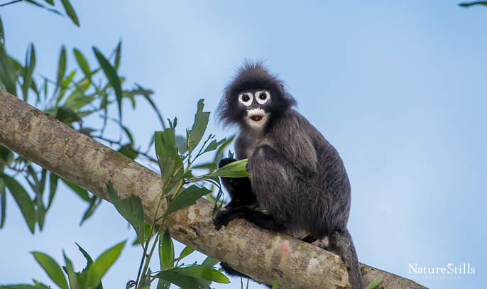 Phayre's Leaf Monkey (Trachypithecus phayrei)