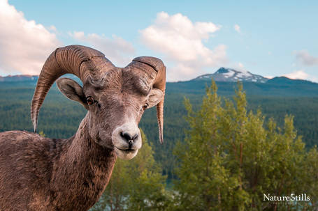 Rocky Mountain bighorn sheep (Ovis canadensis canadensis)