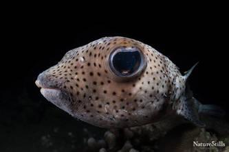 Porcupine Pufferfish