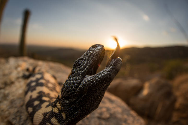 Gila Monster Eating the Sun.jpg