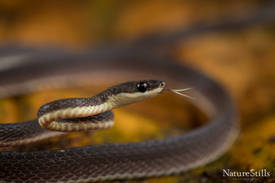 Humpback Shadow-Snake (Diaphorolepis wagneri).jpg