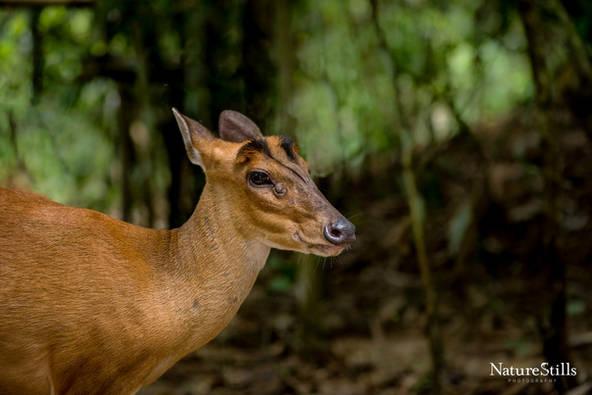 Barking Deer (Muntiacus muntjak)