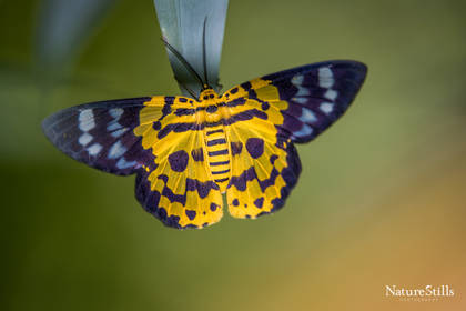 False Tiger Moth (Dysphania militaris)