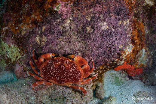 Crab eating Seargant Major eggs