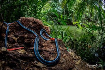 Blue Malayan Coral Snake (Calliophis bivirgatus flaviceps)