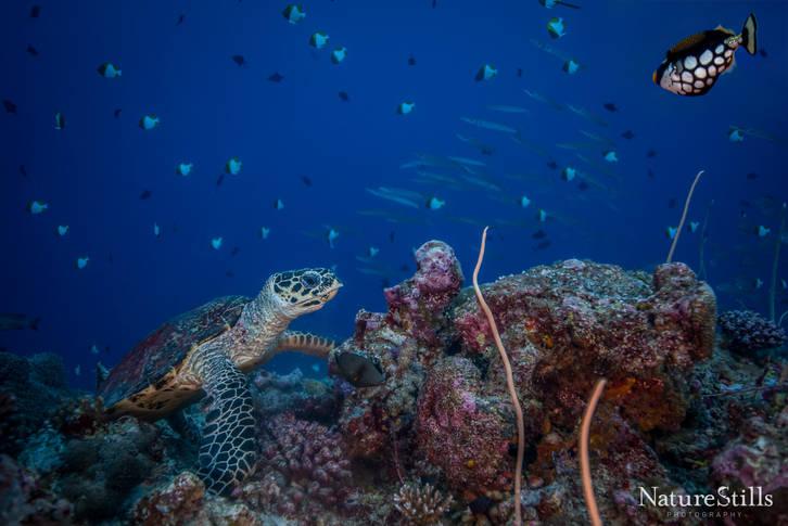 Foraging Hawksbill Sea Turtle
